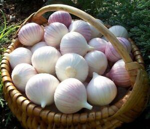 Seeds Giant Garlic Bulbils Lyubasha Winter(Not Cloves) Elephant Organic Ukraine