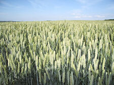 200 ORGANIC OAT Oats Avena Sativa Grain Seeds - ORGANIC SEED