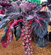 50 Brussels Sprout Cabbage Seeds ROSELLA PURPLE Heirloom Vegetable Organic