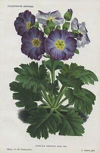 1885 PRIMULA SINENSIS PRIMROSE Antique Botanical Chromolithograph Print LINDEN
