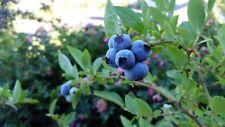Blueberry bush 100 seeds HEIRLOOM NON-GMO USA Seller