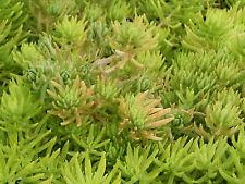 10 x CUTTINGS - SEDUM PLANT 'GOLDEN GLOW' CRAWLER SUCCULENT CUTTING$