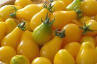 Yellow Pear Tomato Seeds, Rare, NON-GMO, Heirloom, Sweet & Juicy, FREE SHIPPING