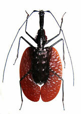 Taxidermy - real papered insects : Carabaeidae : Mormolyce phyllodes 75mm