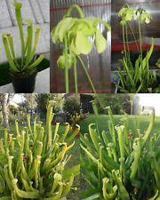 Sarracenia RUBRA GULFENSIS LUTEOVIRIDIS carnivorous plant (not seeds !!)
