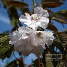 Prunus Chocolate Ice 7-8ft 12 Litre Slot Pot H/S Japanese Flowering Cherry Tree
