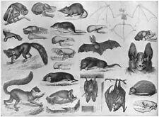 ANIMALS. Lemur; Aye-Aye; Flying fox; Vampire bat; Hedgehog; Mole; shrew 1907