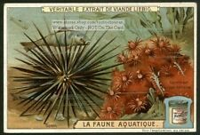Sea Urchin Ocean Marine c1908 Chromo Trade Ad Card
