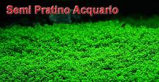 10000 SEMI simil Hemianthus callitrichoides pianta pratino facile acquario
