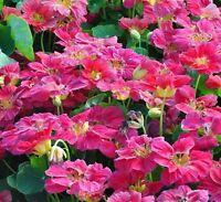 Nasturtium Flower Seeds (tropaeolum nanum) Pink from Ukraine