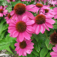 100PCS PINK RUBY ECHINACEA CONE-FLOWER SEEDS PERENNIAL HOME GARDEN BONSAI PLANT