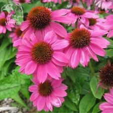 100PCS PINK RUBY ECHINACEA CONE-FLOWER SEEDS PERENNIAL HOME GARDEN BONSAI PLANT