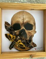 Real Death Head Moth Acherontia Entomology Wooden Frame Silence of the Lambs