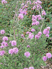 Kunzea ambigua pink in 75mm supergro tube Native Plant
