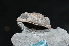 Camouflage Trilobite Spots Eldredgeops rana from Devonian New York Fossil RARE