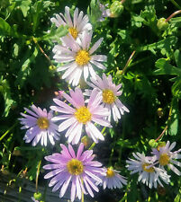 Brachyscome valencia (daisy) ADVANCED PLANT in 75mm supergro tube native plant