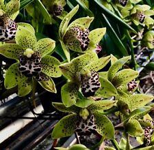 Cymbidium Gothic Tiger Spots kräftige Pflanze Orchidee Orchideen