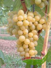 goldgelbe Wein Traube Suzi lecker und robust  ca. 100-120 cm