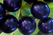 Black Rum Cherry Tree seedling EDIBLE CHERRIES MAKE PANCAKES live plant