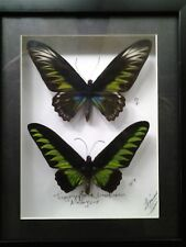 TROGONOPTERA BROOKIANA - MOUNTED PAIR IN BLACK SHADOWBOX WITH BLACK MATTE BORDER