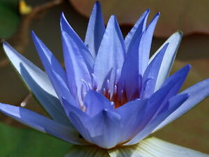 Water Lily (nymphaea caerulea) Reliable, Viable Seeds