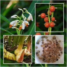 Alpinia galanga 50 Heirloom Seeds Galanga Greater Galangal False Galangal Herbs