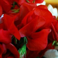 FLOWER SWEET PEA MAMMOTH SCARLET - 50 FLOWER SEEDS