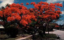 Habana Havanna Cuba Kuba Color AK ~1970 Flame Tree in voller Blüte Baum Bäume