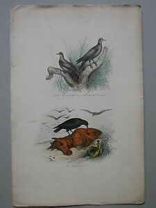GRAVURE Tourterelle Corbeau Planche Ornithologie (G115)