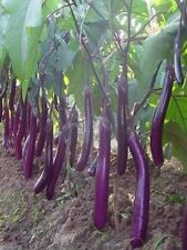 Eggplant - LONG PURPLE - 30 Heirloom Vegetable Organic Aubergine Seeds