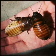 """New listing 40 Pairs Madagascar Hissing Cockroach 1""""- 2 1/2"""""""