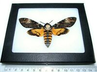 REAL FRAMED ACHERONTIA ATROPOS SILENCE OF THE LAMBS DEATH'S HEAD MOTH SKULL