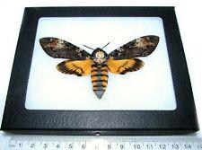 Real Framed Acherontia Atropos Silence Of The Lambs Death'S Head Moth Skull