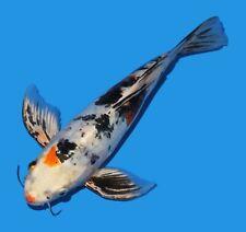 """Live Koi fish 11"""" Doitsy Yamatonishiki Butterfly Koibay"""