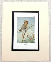 Vintage Uccello Stampa Thorburn's Waxwing British Fauna Selvatica Art Ca 1929