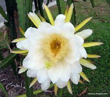 75 Dragon Fruit (Pitaya) Seeds ~ Spectacular Flower ~ Free US Shipping