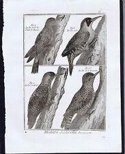 Lucon - Cardinal -  Verd, Le Pic  - 1788 Scattaglia Bird Engraving