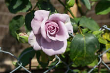 Rosa 'Twice In A Blue Moon' Hybrid Tea Rose, Large Pale Lilac Flowers