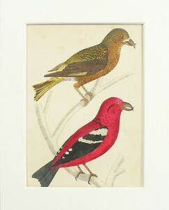Crossbills Antique Natural History Bird Print - 1880 Mounted Colour Engraving 2