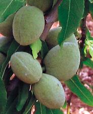 Mandelbaum 'Tenera Dolce' - Naschmandel - Winterharte Pflanze 140-160cm