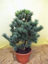 Mädchenkiefer Pinus parviflora Glauca 25-30cm  Bonsai geeignet