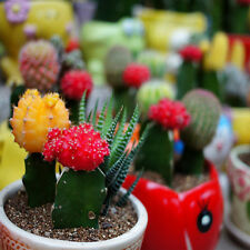 Cactus Ball Seeds Perennial-Succulent Indoor Fleshier Plant Polygon Mini Mixed