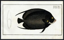 1782 Bloch 's fishes Chaetodon paru – el negro klippfisch – la bandoulière no