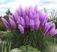Purple Pampas Grass 3 Plugs