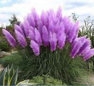 Purple Pampas Grass 3 Plugs