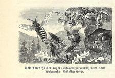 Stampa antica INSETTI SCARAFAGGIO Metoecus paradoxus 1891 Old antique print