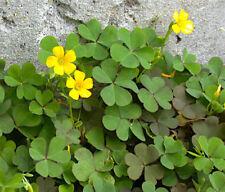 30 Organic Yellow Wood-Sorrel Seeds ~Oxalis stricta~ Edible, Medicinal & Tea.