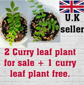 2 curry leaves plant + 1 plant free . Healthy & well rooted.(Murraya koenigii)