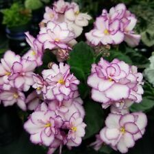 Rob's Heat Wave Semi-Miniature African Violet starter plant