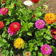Zinnia California Giant Mixed 50 Flower Seeds